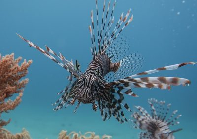 Lionfish, Photo by Rod Salm