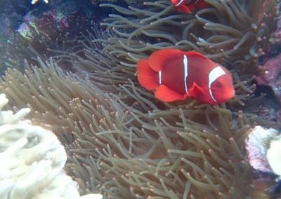 Premnas biaculeatus (spine-cheek anemonefish) on Heteractis magnifica (magnificent sea anemone) Pisang, Photo by Rod Salm