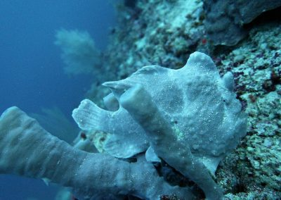 Commerson's frogfish or the giant frogfish, <i>Antennarius commerson</i>, in tube sponge