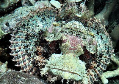 Tassled scorpionfish <i>Scorpaenopsis oxycephala</i>