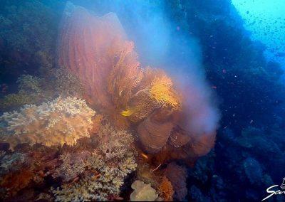 Giant barrel sponge spawning