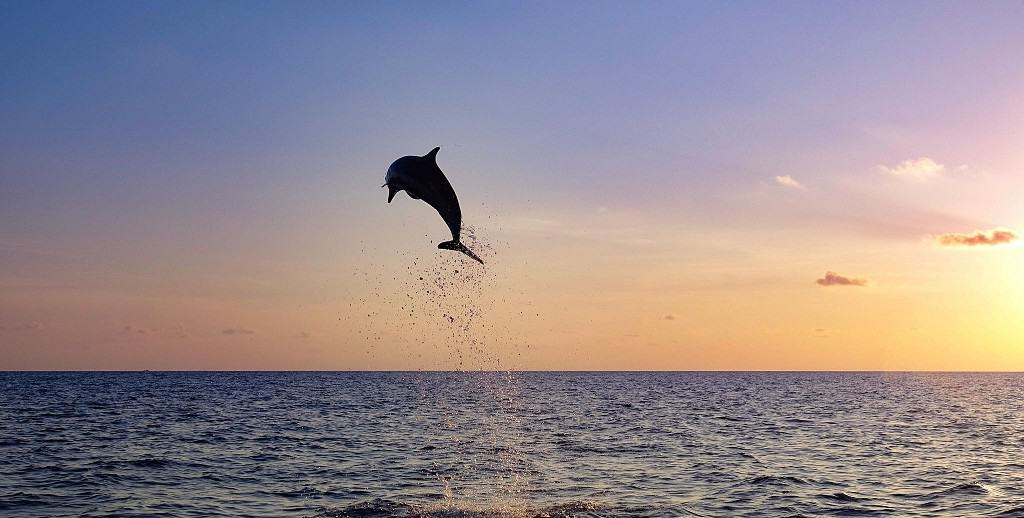 Dolphin jumping - by David Forbes