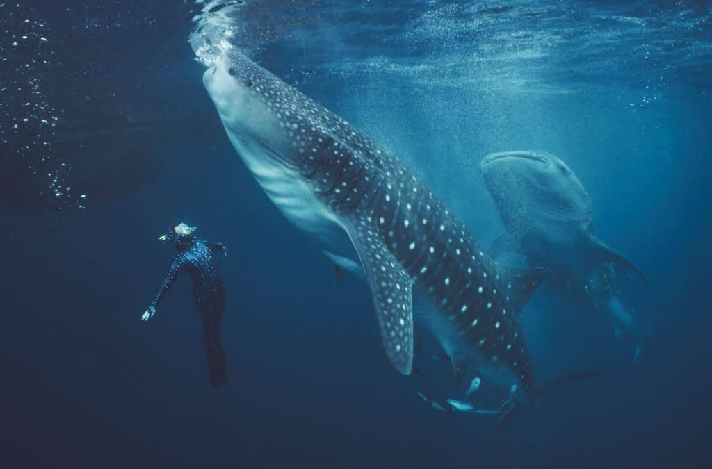 Whalesharks of West Papua with #Legends of the Deep