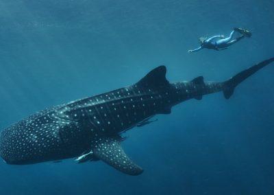 WhaleSharkSS119
