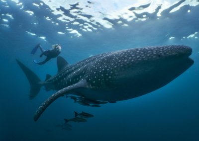 WhaleSharkSS99