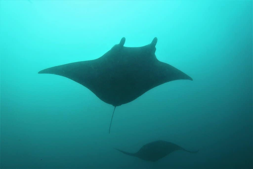 Ethereal mantas in early morning light