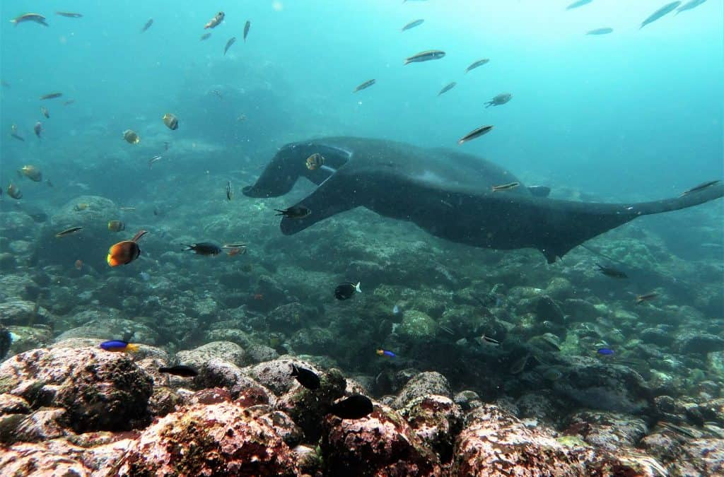 A Surprise Encounter with a Heavily Pregnant Manta