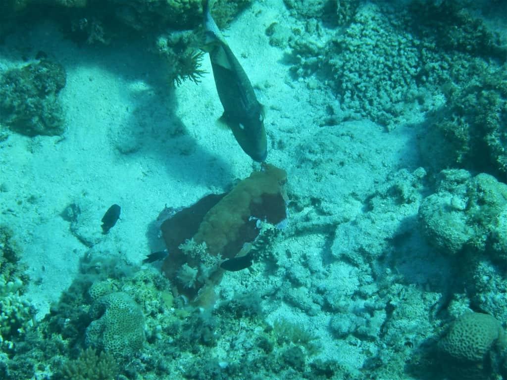 Titan Triggerfish attacking Spanish Dancer
