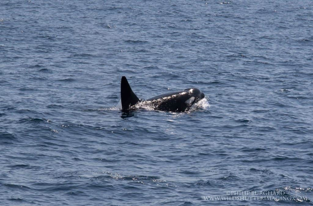 Tropical Orcas – East of Flores