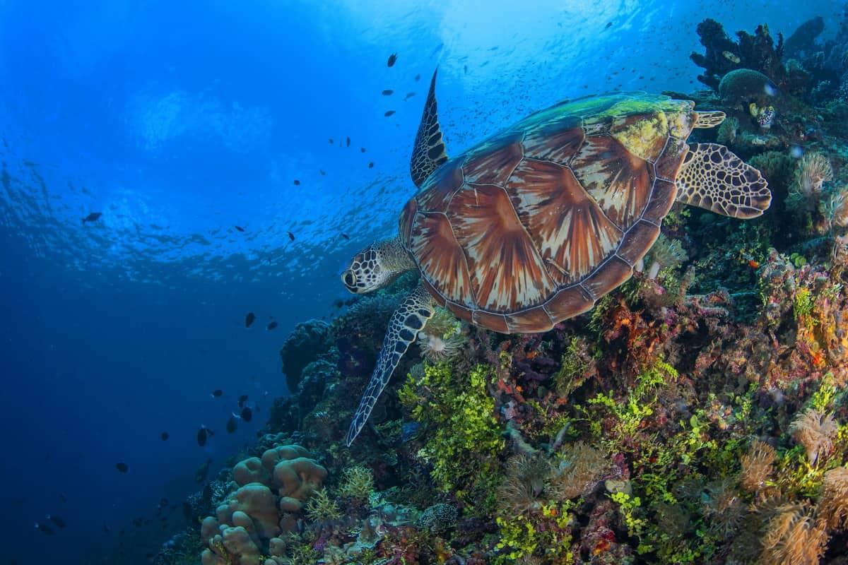 Turtle, Raja Ampat