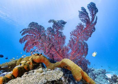 Gorgonian sea fan and sponge