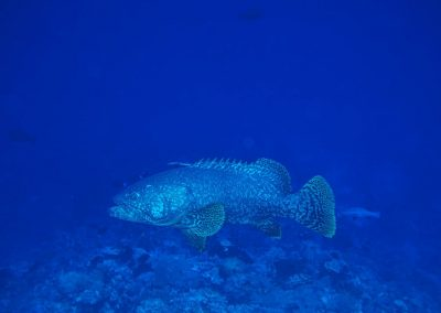 Queensland Giant Grouper, Sermata