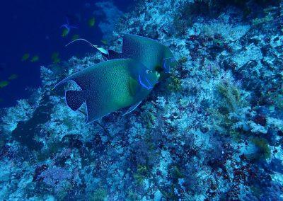 Semicircle angelfish, Koon