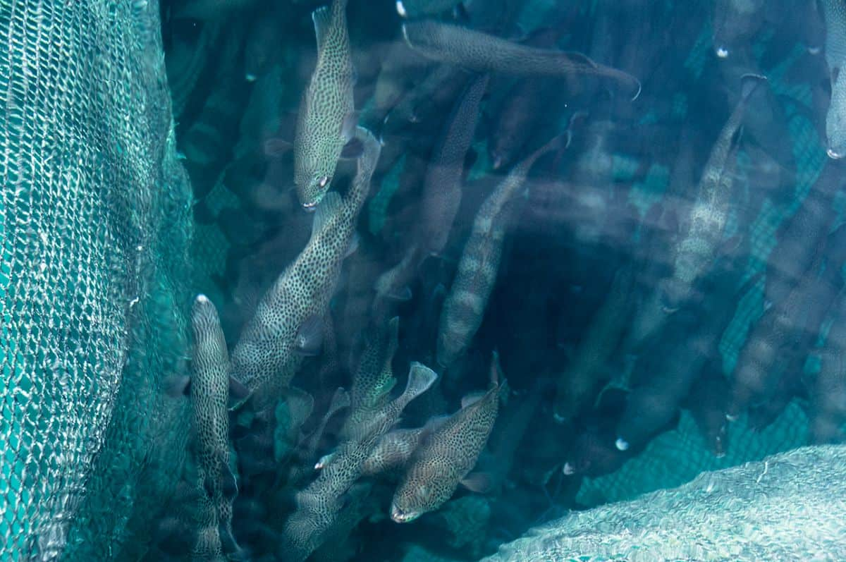 Coral Trout (groupers) in a holding pen in Sermata