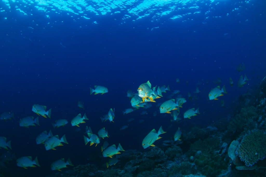 Schooling of Sailfin Snappers