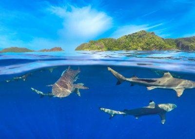 Sharks, Penemu Island